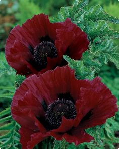 Big, blood red poppies. I grew some of these years ago, I got the seeds from Oregon. they were just as red.