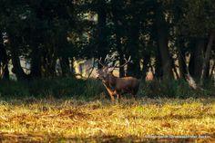 #Naturerlebnis - #Spreewald  #Hirsch www.hotel-stern-werben.de