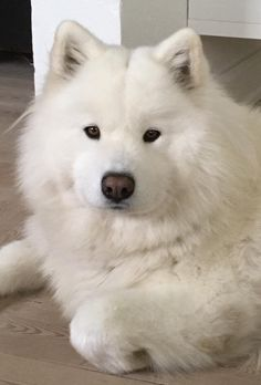Samoyed Samoyed Dogs, Pet Dogs, Dog Cat, Cute Dogs And Puppies, I Love Dogs, Yorkie Puppies, Cute Baby Animals, Animals And Pets, White Dogs