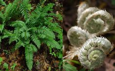 Christmas Fern, Polystichum acrostichoides. It is one of the most common ferns in eastern North America and is an evergreen which grows in part to full shade. It likes dry to medium wet soil. The fiddleheads are edible and a poultice of smashed roots has been used to treat arthritis. Confirmed on the acreage, not my picture.