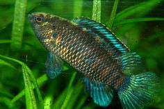Badis badis The Blue perch