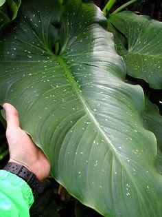 'Hercules' Giant Calla Lily -- Zantedeschia sp.