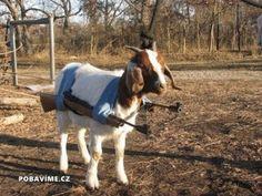 Ozbrojený kozel