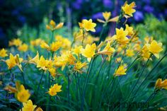 Päivänlilja - Kasvihormoni | Lily.fi My Flower, Wild Flowers, Lily, Garden, Plants, Garten, Wildflowers, Lawn And Garden, Orchids
