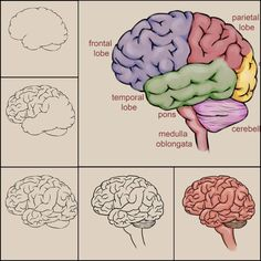 Learn how to draw a brain, from wikiHow.com