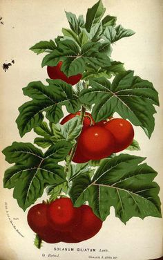 solanum ciliatum, Cockroach Berry - high resolution image from old book. Science Illustration, Fruit Illustration, Botanical Illustration, Botanical Science, Botanical Prints, Home Garden Plants, Succulents Garden, Impressions Botaniques, Illustration Botanique