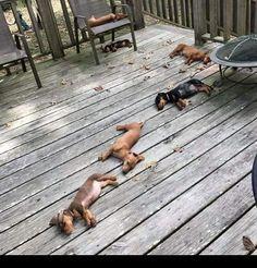 All of my mamas dogs. Bunch of lazies Dapple Dachshund, Funny Dachshund, Dachshund Puppies, Dachshund Love, Funny Dogs, Cute Puppies, Cute Dogs, Dogs And Puppies, Daschund