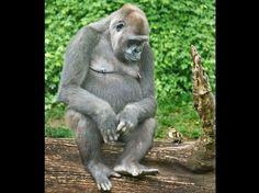 """""""On a souvent besoin d'un plus petit que soi"""". Ce gorille d'un zoo britannique a pris au mot la morale de la fable """"Le Lion et le Rat"""", en sympathisant avec un caneton accidentellement échoué dans l'enclos des primates."""