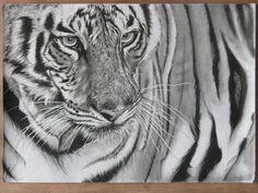 Tigre, lapiz a carbon
