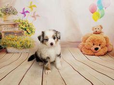 Miniature Australian Shepherd puppy for sale in PHOENIX, AZ. ADN-41837 on PuppyFinder.com Gender: Female. Age: 7 Weeks Old