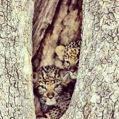CUTE cubs hidden away in Botswana