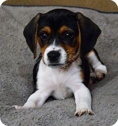Seahurst, WA - Beagle Mix. Meet Hannah, a puppy for adoption. http://www.adoptapet.com/pet/17924830-seahurst-washington-beagle-mix