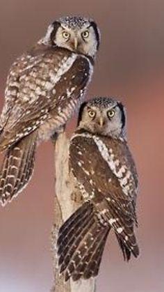 a schizophrenia of (hawk) owls
