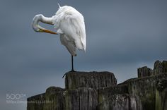 Great Egret . by sobhidimachkieh. @go4fotos