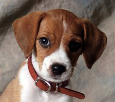 The Jack Russell Beagle mix (also known as the Jack-A-Bee) is not a purebred dog. It is a cross between the Jack Russell Terrier and the Beagle. Art Beagle, Beagle Puppy, Jack Russell Mix, Jack Russell Terrier, Bull Terrier Dog, Terrier Mix, Terriers, Dogs And Puppies, Chihuahua Dogs