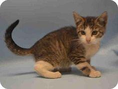 Brooklyn, NY - Domestic Shorthair. Meet POPCORN, a kitten for adoption. http://www.adoptapet.com/pet/17291427-brooklyn-new-york-kitten