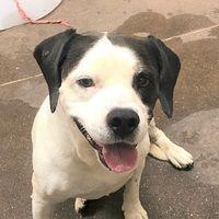 Las Vegas Nv Beagle Meet Buster A Pet For Adoption