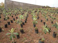 Plantação de nespereiras
