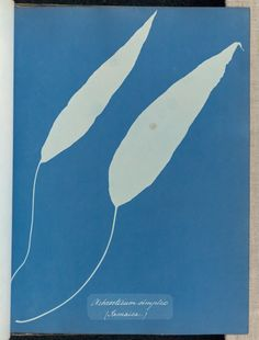 Achrosticum simplex, Jamaica (Getty Museum) Classic Artwork, Getty Museum, Cyanotype, New York Public Library, Museum Collection, Atkins, Jamaica, A3 Size, Artist