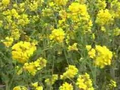 Get Omega-3s from Dandelion and Other Wild Edible Plants