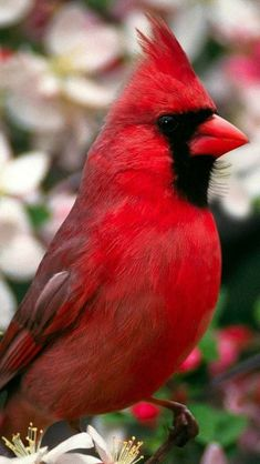 Beautiful Cardinal ❤