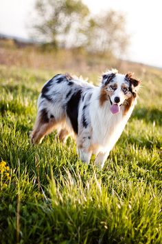 blue merle australian shepherd one of the most loyal pets with children. Australian Shepherds, Australian Shepherd Puppies, Aussie Puppies, Dogs And Puppies, Blue Merle Australian Shepherd, Doggies, Corgi Puppies, Big Dogs, Teacup Puppies