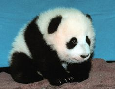 Wow... who knew: If baby pandas are your favorite, it means you will die from watching too much Netflix. | What Your Favorite Baby Animal Says About How You Will Die