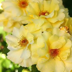 Rose, Sun Flare Yellow Floribunda. It offers loads of 3-inch sunny lemon-yellow blooms continuously throughout summer on a low-growing, bushy, disease-resistant plant with a spreading habit. This heat- and cold-tolerant rose has a mild licorice scent. 3' x 3'