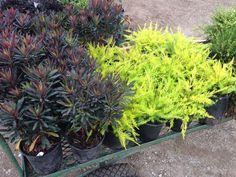 Great plant combo. Coleonema 'Golden Sunset' and Euphorbia 'Blackbird'
