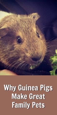 Why Guinea Pigs Make Great Family Pets