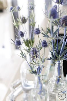 "Eryngium / Sea Holly - ""Silvers & blues are the colors I choose"". These thistle-like flowers are a great addition to a vase. Fresh Flowers, Dried Flowers, Blue Flowers, Beautiful Flowers, Thistle Bouquet, Thistle Flower, Arrangements Ikebana, Floral Arrangements, Wedding Centerpieces"