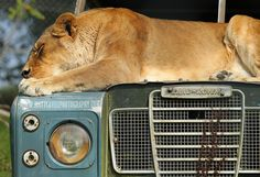 Land Rover Series III and a Lion.