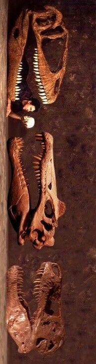 Essa incrivel imagem mostra a comparação dos crânios de um Tiranossauro, Epinossauro e Carcarodontossauro. Em meio a magnetude da comparação entre gigantes, o minusculo crânio de um ser humano domina o que a muito tempo atras foram deles.