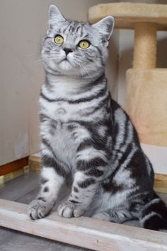 Our Boy - Tigatails British Shorthair Silver Tabbies/spotteds