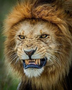 Love the lion close ups ❤They are such beautiful animals. Beautiful Cats, Animals Beautiful, Beautiful Creatures, Animals And Pets, Cute Animals, Animals Planet, Animals Images, Lion Photography, Lion And Lioness