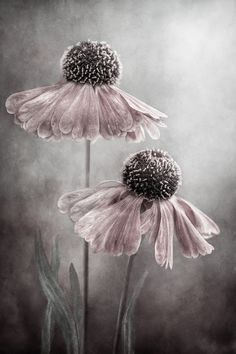 I just love this photo. It is the perfect blends of both grays and taupes with dusty rose. May try this look on one wall in master bedroom. Creation Art, Gris Rose, Botanical Art, Pink Grey, Flower Art, Beautiful Flowers, Beautiful Life, Beautiful Pictures, Art Drawings