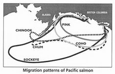 salmon organizations | all salmon species of wild bc salmon begin their lives in either ...