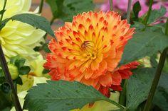 Blüte der Dahlie in Orange, Foto Birgit Puck