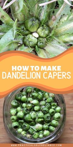 Dandelions produce a small, caper sized flower bud early in spring before the stem shoots skyward and opens into a flower.  If picked small enough, dandelion buds can be made into convincing dandelion capers.  That's a homemade caper that just about anyone can grow! #dandelion #capers #spring #foraging #recipe #practicalselfreliance #pickled
