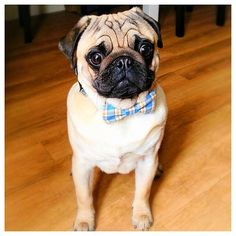 Little Pug looking fly with his new bow tie!  Congrats to @some_little_pigs & thanks for posting!