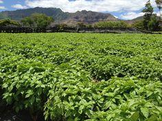 Hawaii basil fields in Waianae