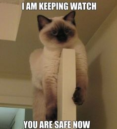 Home Security, At Your Door - LOLcats is the best place to find and submit funny cat memes and other silly cat materials to share with the world. We find the funny cats that make you LOL so that you don't have to. Siamese Kittens, Cute Cats And Kittens, Kittens Cutest, Animal Gato, Mundo Animal, Funny Cat Memes, Funny Cats, Crazy Cat Lady, Crazy Cats