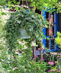 #-neuer Gartentraum-Efeu