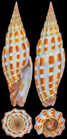 Chong Chen Vexillum stainforthii (Reeve, 1842) COSTELLARIIDAE -25~30m, In sand and rubble, Off Bolo Point, Guam, 41.8mm--incredible pattern-