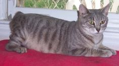 Raina is an adoptable Manx Cat in Liberty, NC. Raina is a gorgeous silver tabby stumpy Manx girl. She was born about 2006 and has a wonderful laid back personality. She loves to be petted and is very ...
