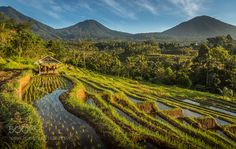 Rice Field Farming by jamezphillips #Landscapes #Landscapephotography #Nature #Travel #photography #pictureoftheday #photooftheday #photooftheweek #trending #trendingnow #picoftheday #picoftheweek
