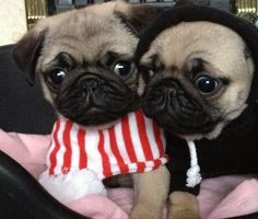 cute little pugs, playing dress up:))