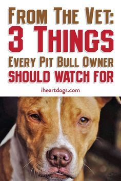 Uplifting So You Want A American Pit Bull Terrier Ideas. Fabulous So You Want A American Pit Bull Terrier Ideas. Pit Dog, Pit Puppies, Pound Puppies, Chihuahua Dogs, Pitbull Training, Pitbull Facts, Pitt Bulls, Bull Terrier Dog, Bull Dog