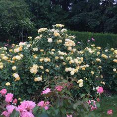 Hey striking display of Julia Child™ Rose. Floribunda Roses, Heirloom Roses, Beautiful Roses, Organic Recipes, Organic Gardening, Oregon, Bloom, Landscape, Auburn