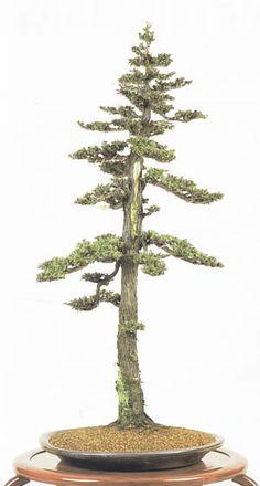 Needle Juniper Bonsai Tree